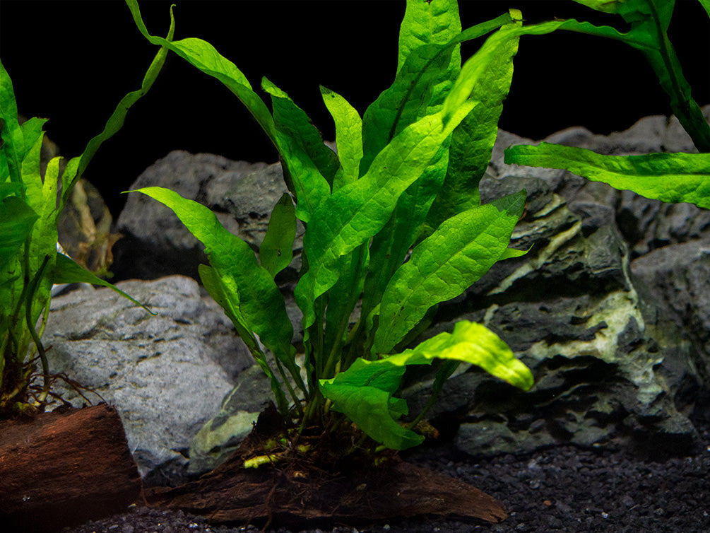 Java Fern (Microsorum pteropus) on 3+ inch Driftwood