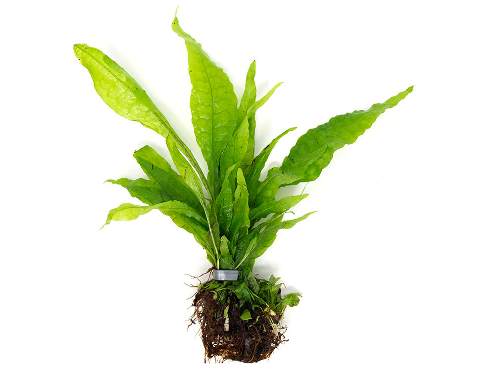 Java Fern (Microsorum pteropus), EXTRA LARGE, bare root clump