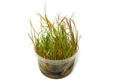 Lesser Creeping Rush (Juncus repens) Tissue Culture