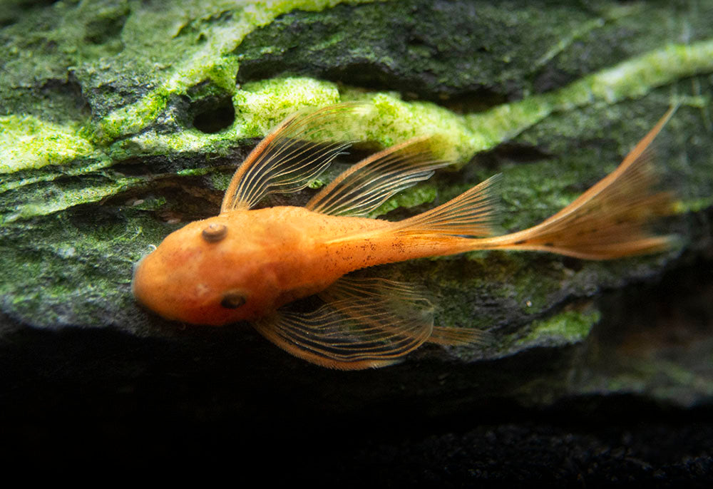"Longfin Super Red Bristlenose Pleco (Ancistrus sp. ""Super Red""), TANK-BRED!"