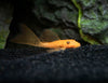 Longfin Super Red Bristlenose Pleco (Ancistrus sp.