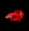 Assorted Koi Plakat Betta (Betta splendens