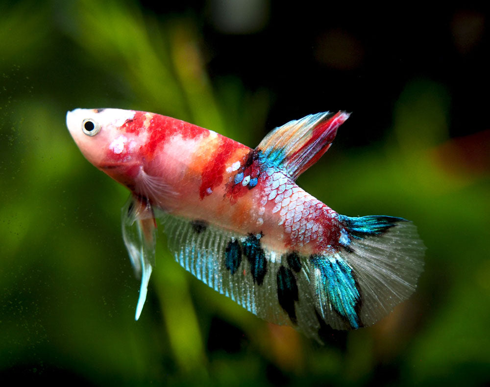 "Assorted Koi Plakat Betta (Betta splendens ""Koi Plakat""), Male - Tank-Bred!"