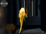 L144a Blue Eye Lemon Bristlenose Pleco (Ancistrus sp.) - LOCALLY BRED!