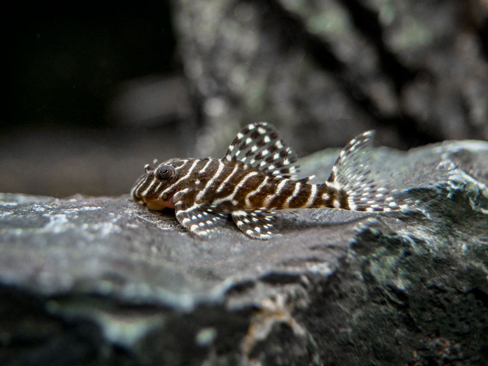 L260 Queen Arabesque Pleco (Hypancistrus sp.), Tank-Bred!