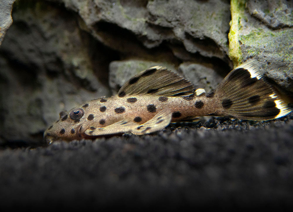 L264 Sultan Pleco (Leporacanthicus joselimai), Tank-Bred!