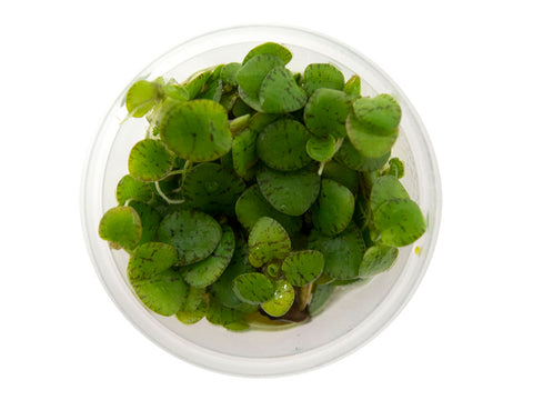 Water Lettuce (Pistia stratiotes), Regular and Jumbo