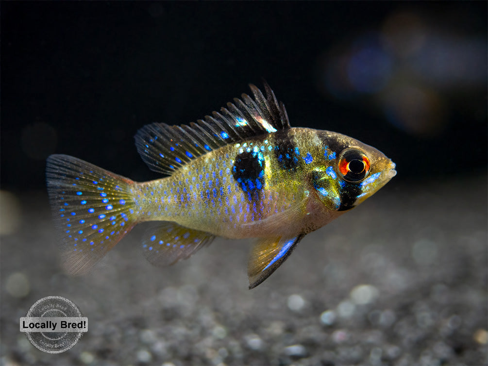 German Blue Ram Dwarf Cichlid (Mikrogeophagus ramirezi) -  LOCALLY BRED!!!