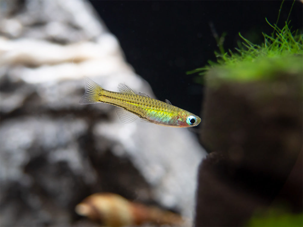 Longfin Gertrude's Spotted Blue Eye Rainbowfish (Pseudomugil gertrudae) - Tank-Bred!