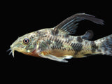 Longfin Peppered AKA Blue Leopard AKA Mottled Cory Catfish (Corydoras paleatus