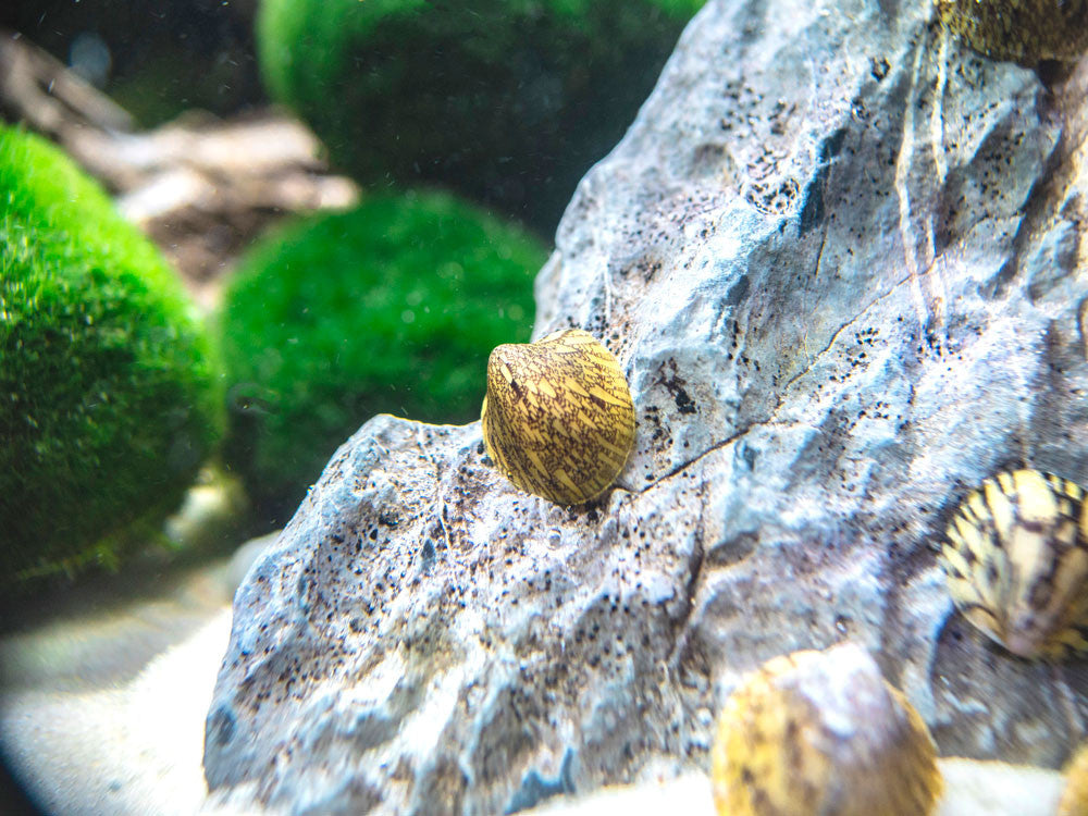 Marbled Limpets (Cellana sp.)