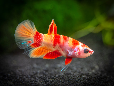"Blue Moscow Guppy (Poecilia reticulata var. ""Blue Moscow""), Males and Females, Tank-Bred!"