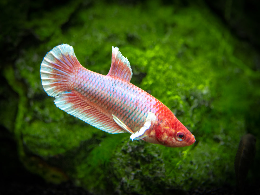 Assorted Lavender Plakat Betta (Betta splendens) - Tank-Bred!