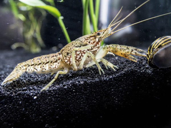 Marbled Crayfish (Procambarus fallax) - 2 to 3+ Inch Young Adult
