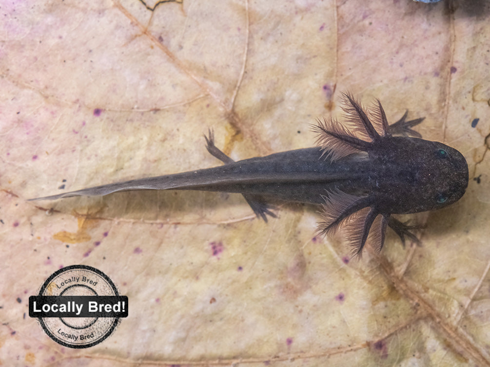 Melanoid Axolotl (Ambystoma mexicanum), Locally Bred!