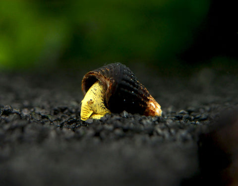"Brown Ramshorn Snails (1/4"" to 1"")"