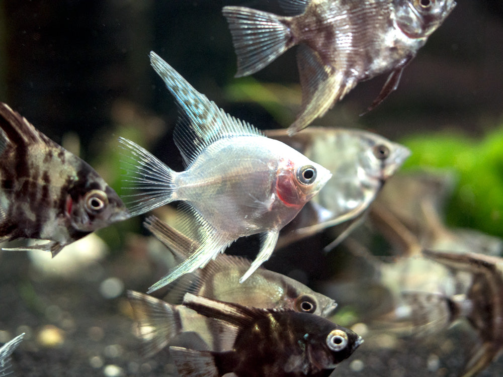 Assorted Angelfish (Pterophyllum scalare) - Tank-Bred!
