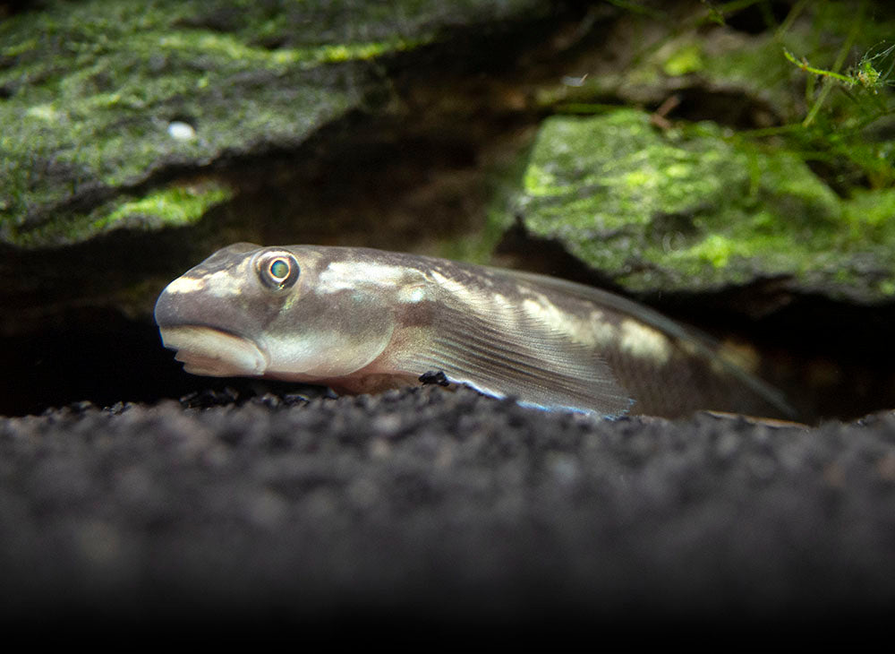Red-Tailed Goby (Sicyopterus lagocephalus)
