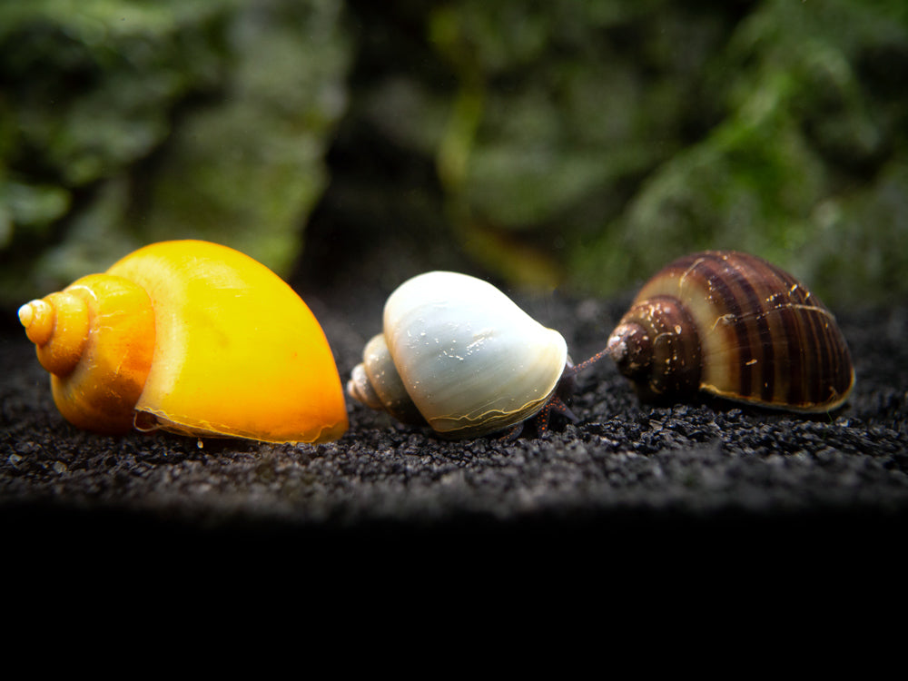 Ultimate Algae Cleaning Crew - 3 Different Types of Snails!