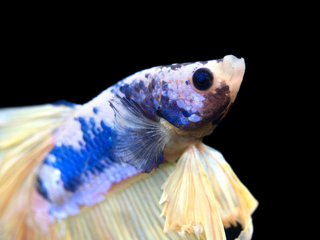 Assorted Mustard Gas Halfmoon Betta (Betta splendens), Male - Tank-Bred!