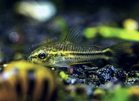 "Longfin Peppered AKA Blue Leopard AKA Mottled Cory Catfish (Corydoras paleatus ""Longfin""), Locally Bred!"