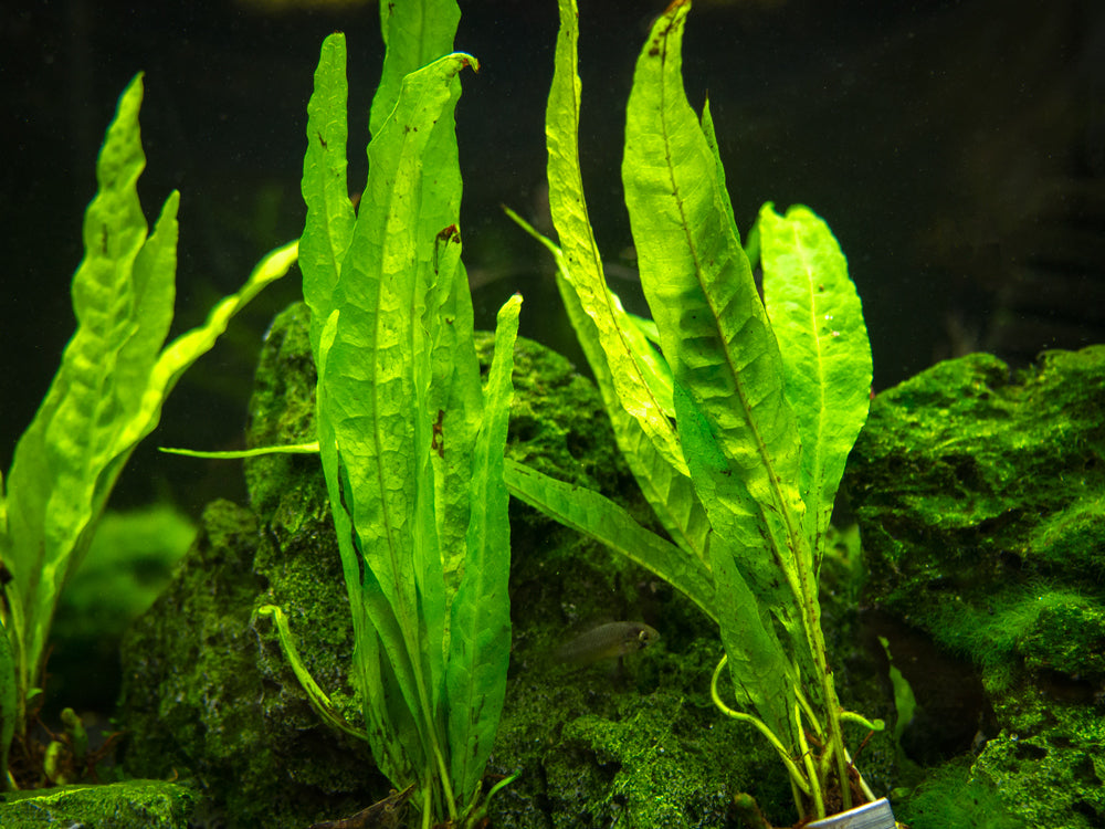 "Narrow Leaf Java Fern (Microsorum pteropus var. ""Narrow"") bare root clump"