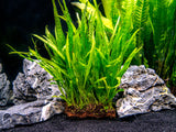 "Narrow Leaf Java Fern (Microsorum pteropus var. ""Narrow"") on 3 x 1.5 inch Mat"
