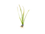 Narrowleaf Vallisneria (Vallisneria nana), Bunch w/Lead