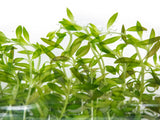 Needle Leaf Ludwigia (Ludwigia arcuata) Tissue Culture