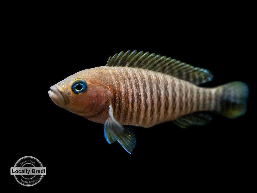 Multi Cichlid (Neolamprologus multifasciatus), Locally Bred!