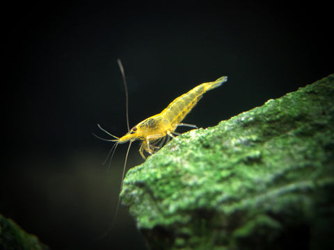 "Red Tiger Bee Shrimp (Caridina cantonensis var. ""Red Tiger Bee""), A-S Grade, Tank-Bred!!!"