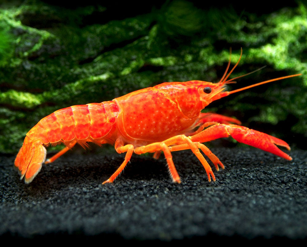 Neon Red Crayfish Aquatic Arts