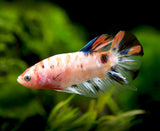 Assorted Koi Plakat Betta (Betta splendens) - Tank-Bred!
