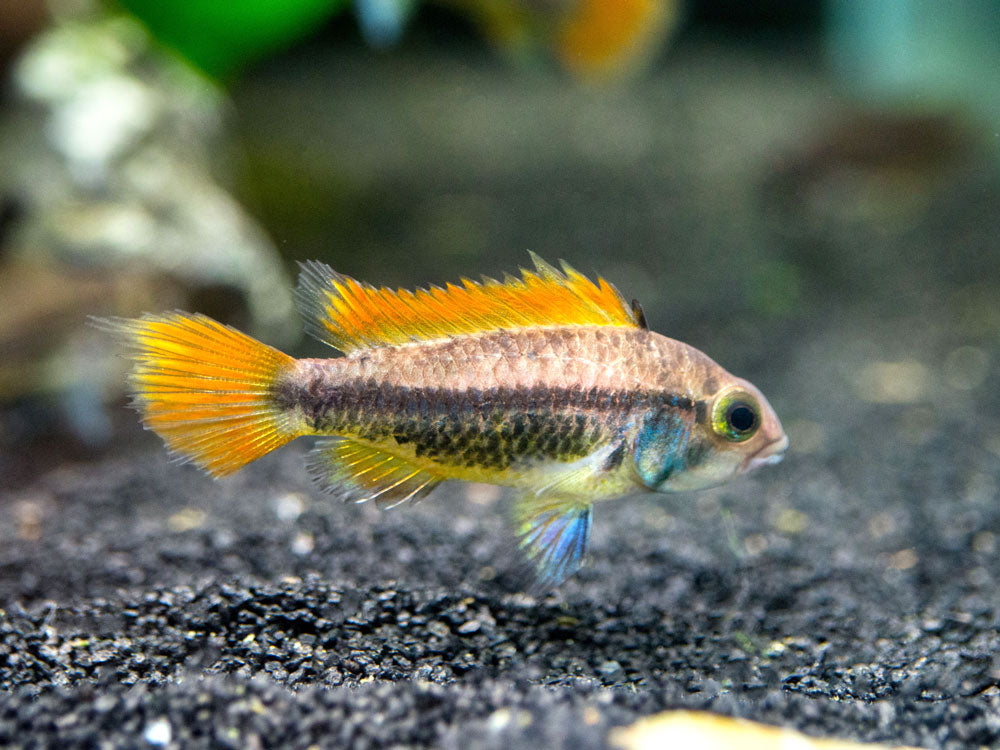 "Orange Flash Cockatoo Dwarf Cichlid (Apistogramma cacatuoides var. ""Orange Flash"") - TANK-BRED!!!"