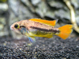 Orange Flash Cockatoo Dwarf Cichlid (Apistogramma cacatuoides var.