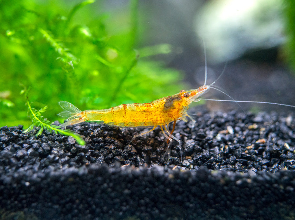 Orange Sunkist Bee Shrimp (Caridina propinqua)
