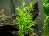 Water Sprite aka Indian Water Fern (Ceratopteris thalictroides) - 6 to 8 inch Tall Bunch