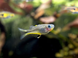 Blue Eye Forktail Rainbowfish (Pseudomugil furcatus) - Tank-Raised!