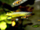 Golden Wonder Killifish (Aplocheilus lineatus) - Tank-Raised!