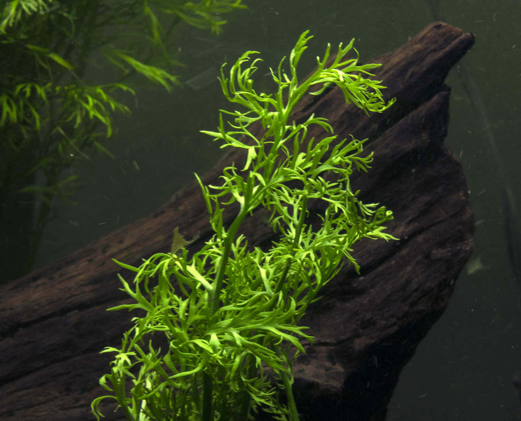 Water Sprite Aka Indian Water Fern Aquatic Arts