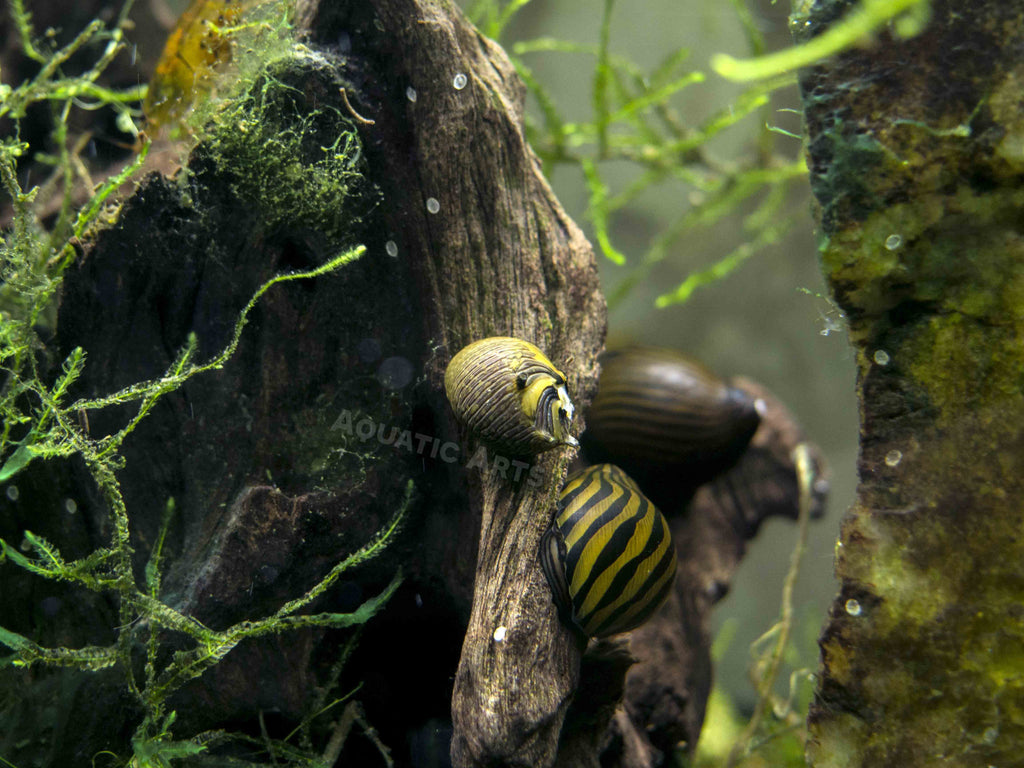 "5 Sun Thorn Nerite Snails aka Horned Nerite Snails (Neritina natalensis) - 1/4"" to 1/2"""