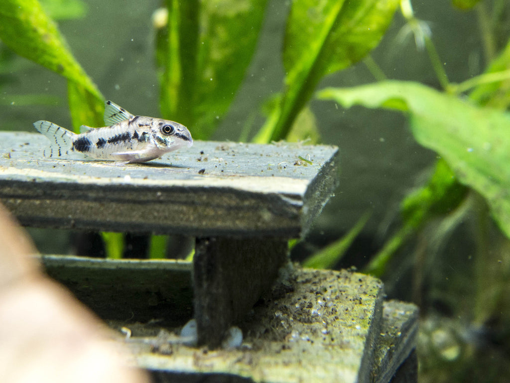 Salt and Pepper Cory Catfish (Corydoras habrosus) - Tank-Raised!