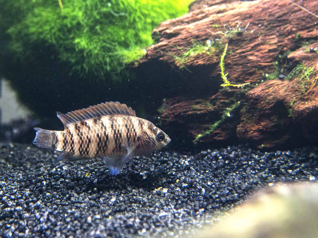 Blue Badis (Badis badis) - Tank-raised!