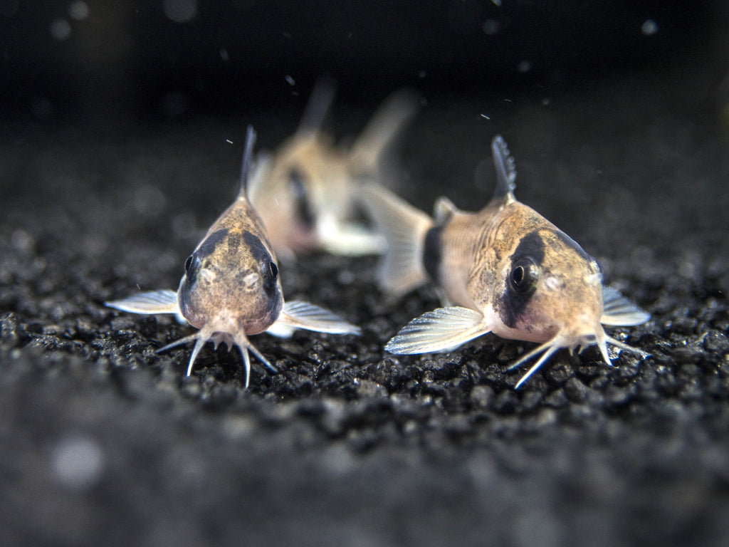 Panda Cory Catfish (Corydoras panda) - Tank-Raised!