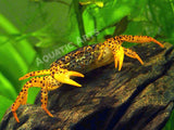 Panther Crab (Parathelphusa pantherina)