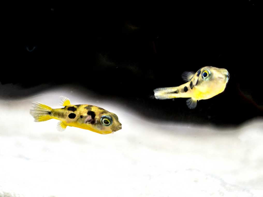 Indian Dwarf Pea Puffer Carinotetraodon travancoricus)
