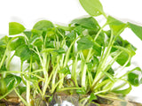 Peace Lily (Spathiphyllum wallisii) Tissue Culture