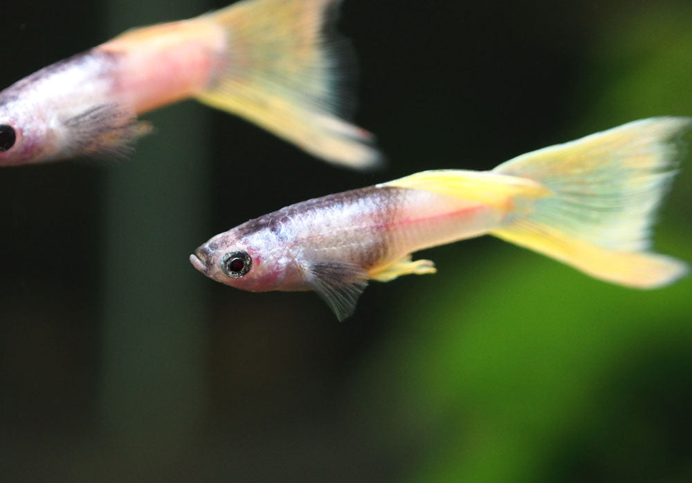 "Pink Tuxedo Guppy (Poecilia reticulata ""Pink Tuxedo""), Males and Females, Tank-Bred!"