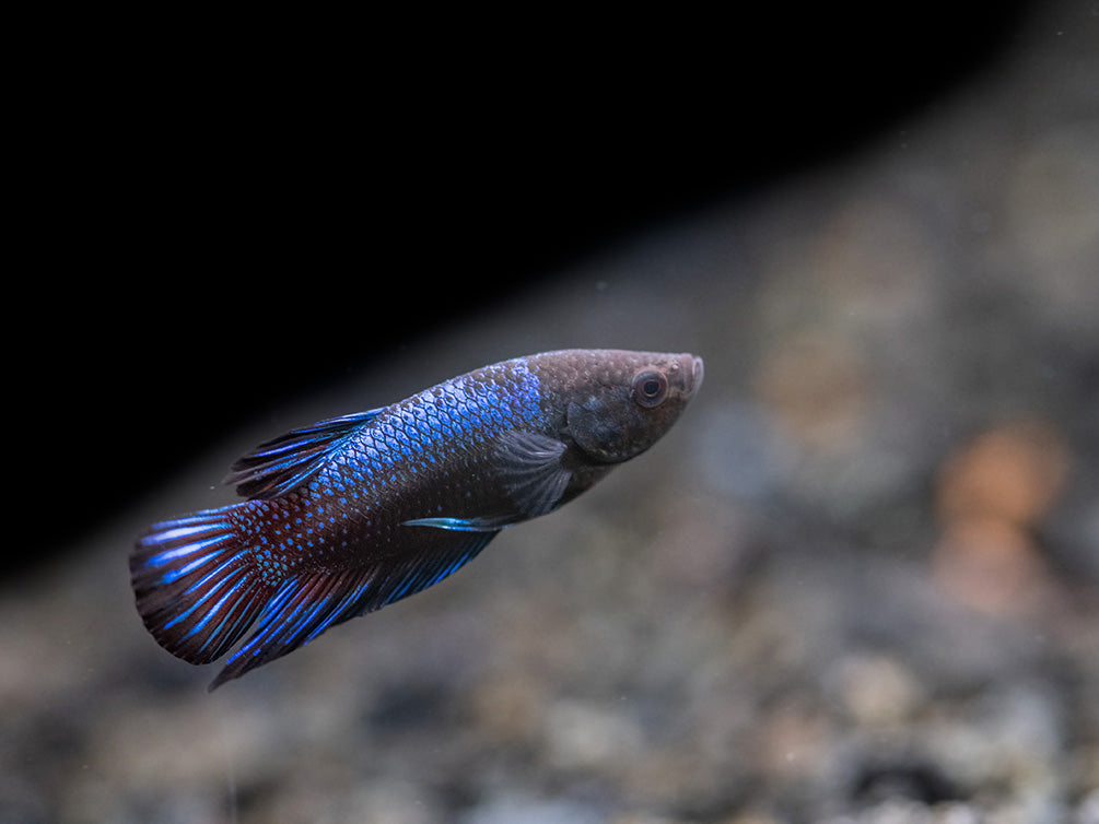 Assorted Blue Bagan Plakat Betta (Betta splendens) - Tank-Bred!
