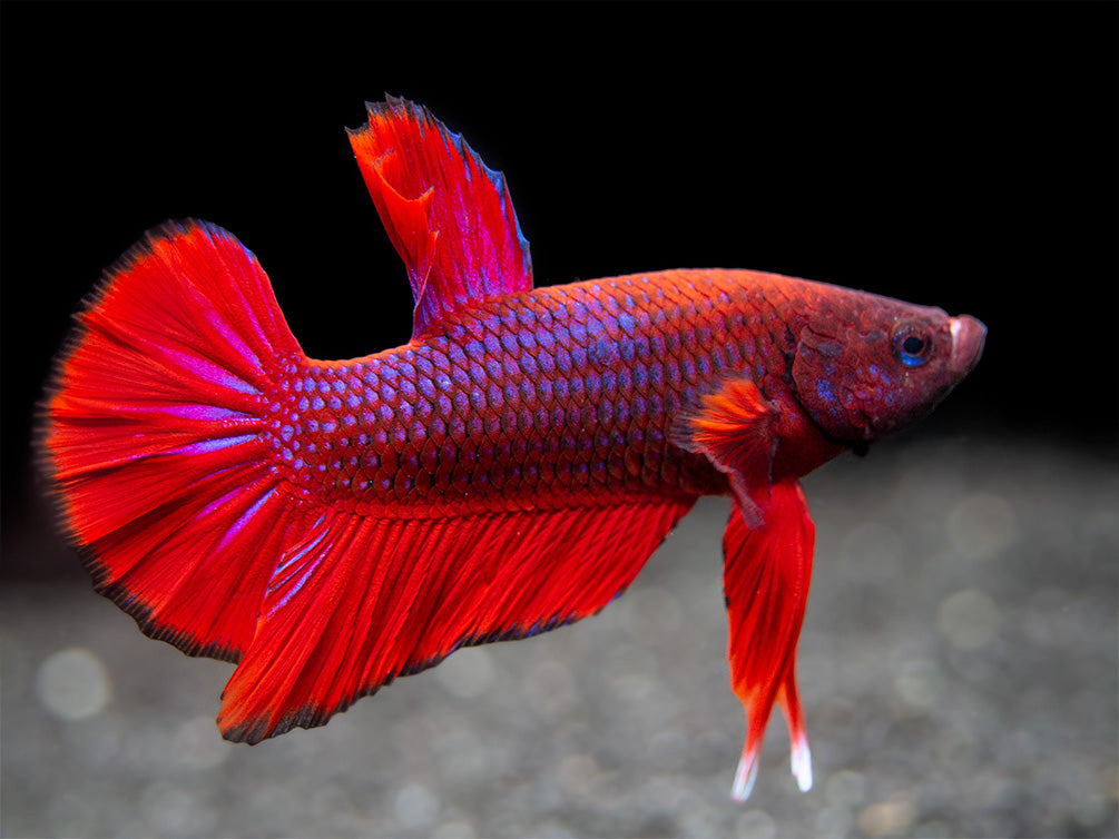 Assorted Hellboy Betta (Betta splendens) - Tank-Bred!